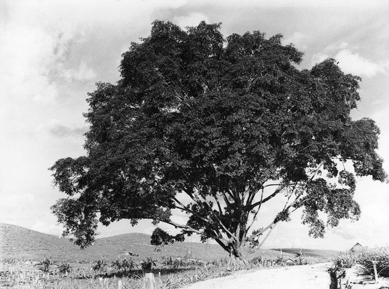 http://media.e-taxonomy.eu/flora-malesiana/fm-1-17-3498.jpg
