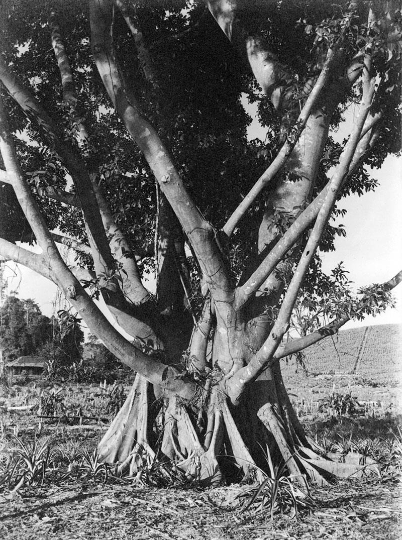 http://media.e-taxonomy.eu/flora-malesiana/fm-1-17-3499.jpg