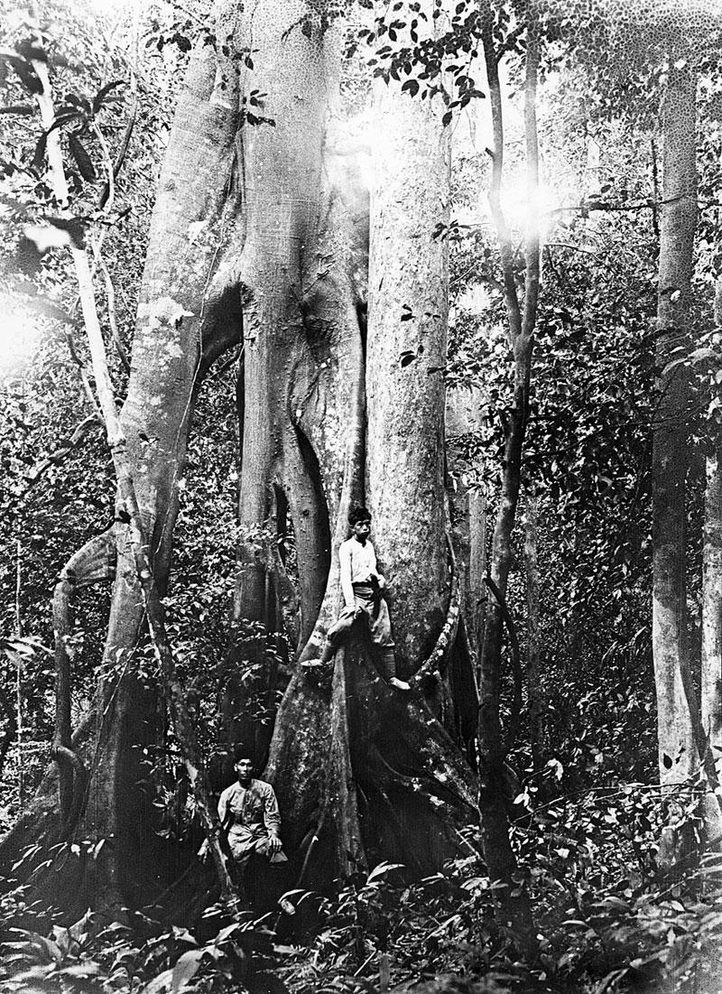 http://media.e-taxonomy.eu/flora-malesiana/fm-1-17-3500.jpg