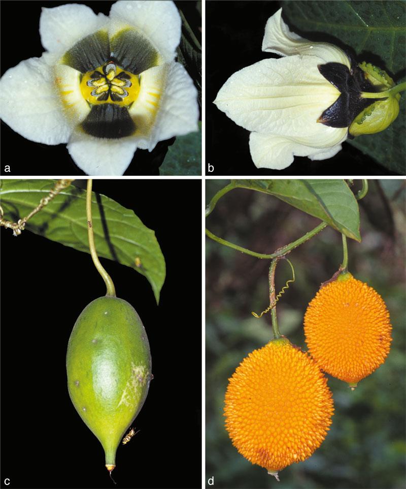 http://media.e-taxonomy.eu/flora-malesiana/fm-1-19-3706.jpg