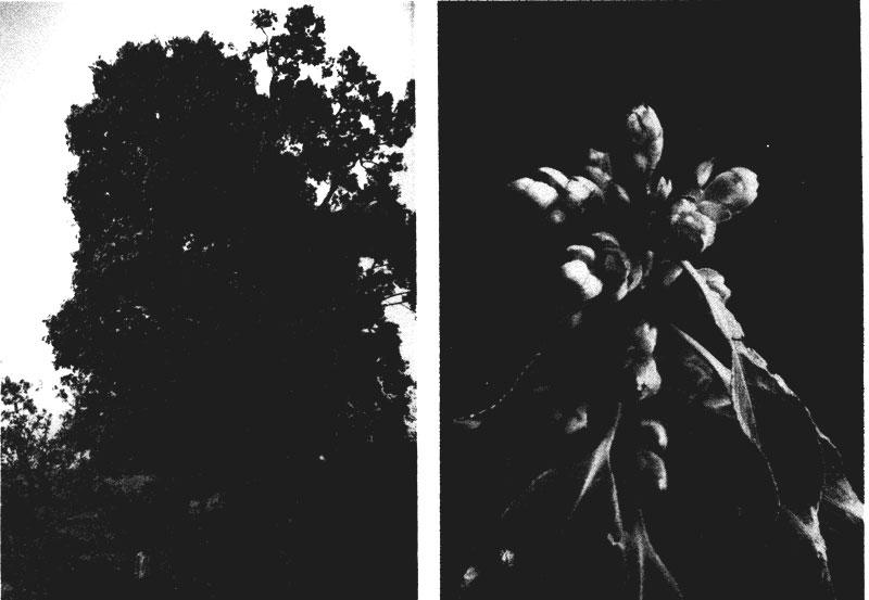 http://media.e-taxonomy.eu/flora-malesiana/fm-1-8-1260.jpg