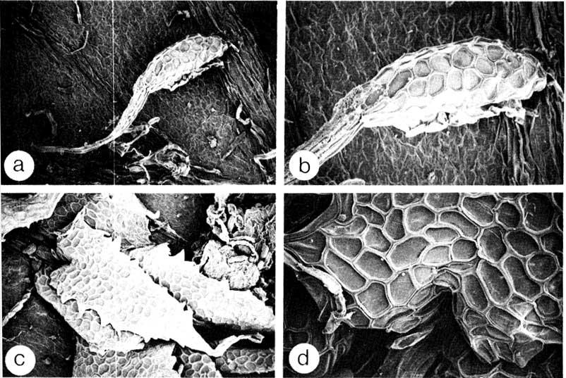 http://media.e-taxonomy.eu/flora-malesiana/fm-2-2-113.jpg