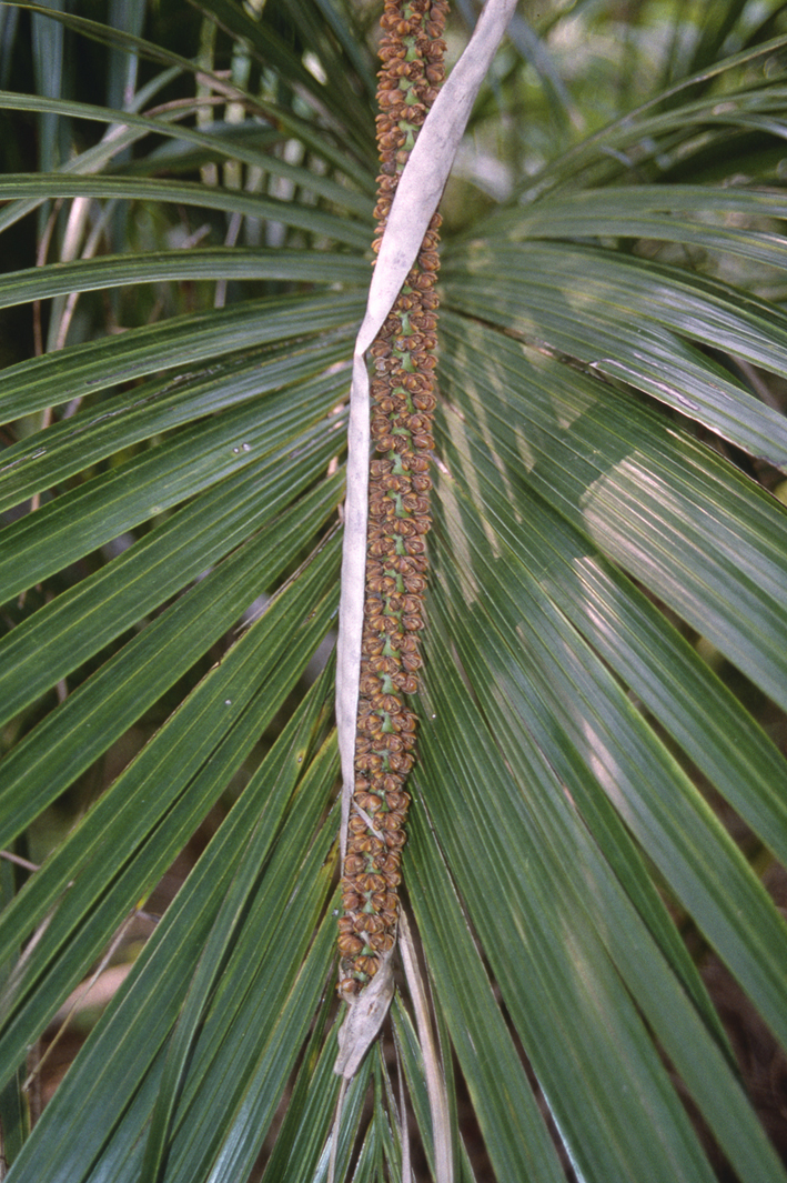 http://media.e-taxonomy.eu/palmae/photos/palm_tc_100447_14.jpg