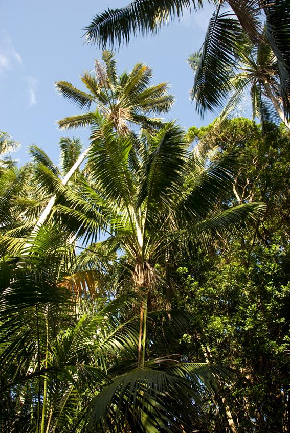 http://media.e-taxonomy.eu/palmae/photos/palm_tc_100448_13.jpg