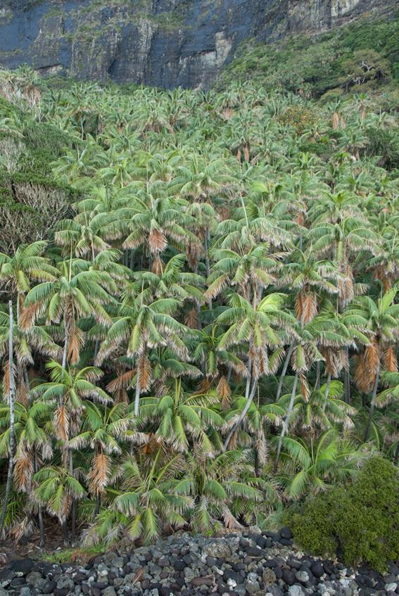 http://media.e-taxonomy.eu/palmae/photos/palm_tc_100448_36.jpg