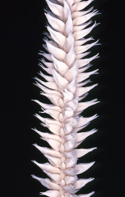 http://media.e-taxonomy.eu/palmae/photos/palm_tc_101023_10.jpg