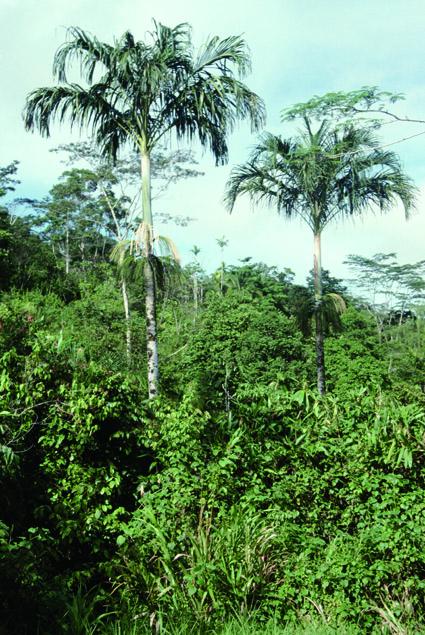 http://media.e-taxonomy.eu/palmae/photos/palm_tc_101027_1.jpg