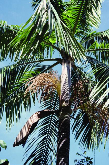 http://media.e-taxonomy.eu/palmae/photos/palm_tc_101028_2.jpg
