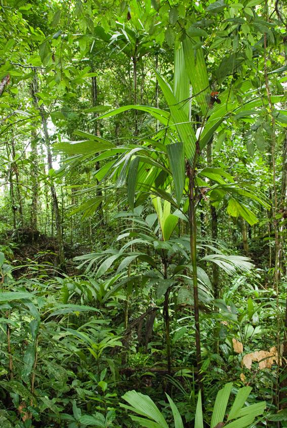 http://media.e-taxonomy.eu/palmae/photos/palm_tc_101032_14.jpg