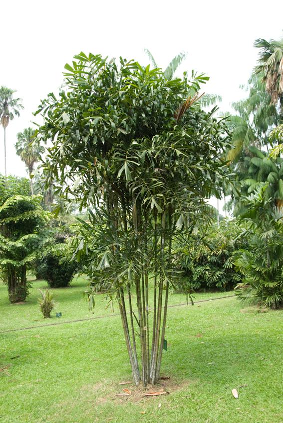 http://media.e-taxonomy.eu/palmae/photos/palm_tc_101048_2.jpg