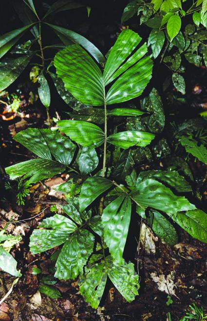 http://media.e-taxonomy.eu/palmae/photos/palm_tc_101060_1.jpg