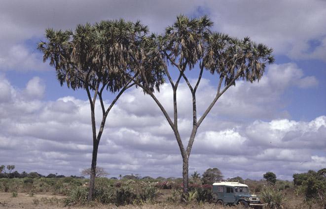 http://media.e-taxonomy.eu/palmae/photos/palm_tc_101361_2.jpg