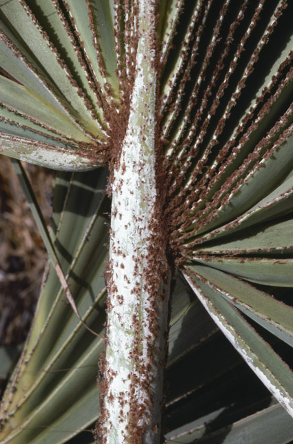 http://media.e-taxonomy.eu/palmae/photos/palm_tc_101362_10.jpg