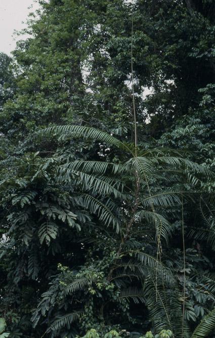 http://media.e-taxonomy.eu/palmae/photos/palm_tc_106705_4.jpg