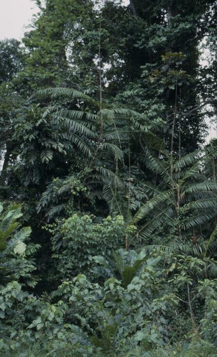 http://media.e-taxonomy.eu/palmae/photos/palm_tc_106705_6.jpg