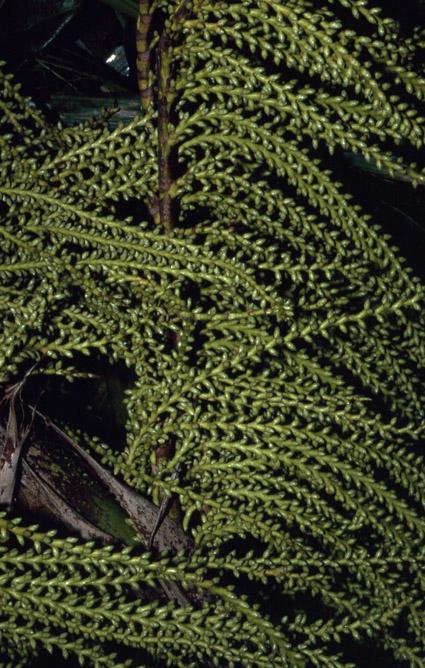 http://media.e-taxonomy.eu/palmae/photos/palm_tc_106711_6.jpg