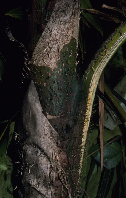 http://media.e-taxonomy.eu/palmae/photos/palm_tc_106711_7.jpg