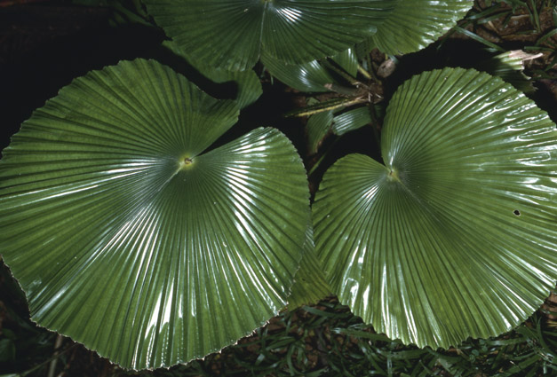 http://media.e-taxonomy.eu/palmae/photos/palm_tc_112143_4.jpg