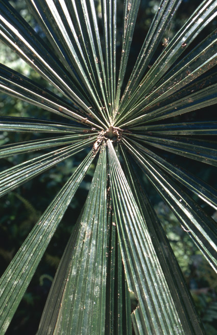 http://media.e-taxonomy.eu/palmae/photos/palm_tc_112191_4.jpg