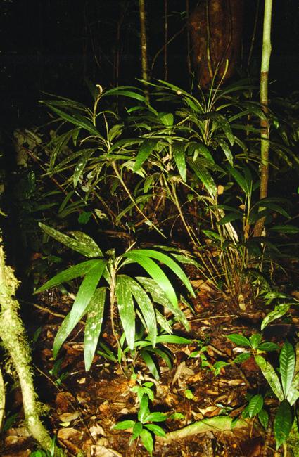 http://media.e-taxonomy.eu/palmae/photos/palm_tc_112572_1.jpg