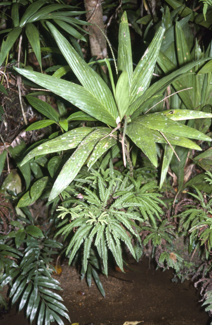 http://media.e-taxonomy.eu/palmae/photos/palm_tc_112574_3.jpg