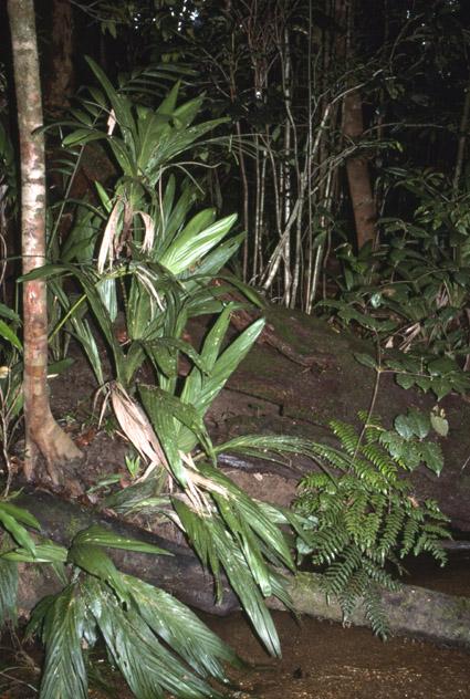 http://media.e-taxonomy.eu/palmae/photos/palm_tc_112574_5.jpg