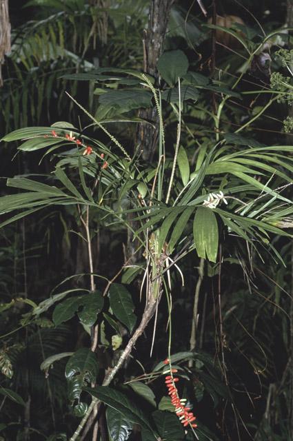 http://media.e-taxonomy.eu/palmae/photos/palm_tc_112592_1.jpg
