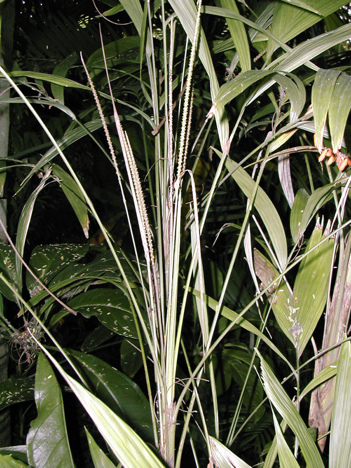 http://media.e-taxonomy.eu/palmae/photos/palm_tc_112592_10.jpg