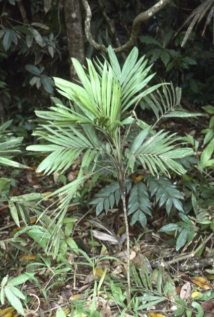 http://media.e-taxonomy.eu/palmae/photos/palm_tc_112592_3.jpg