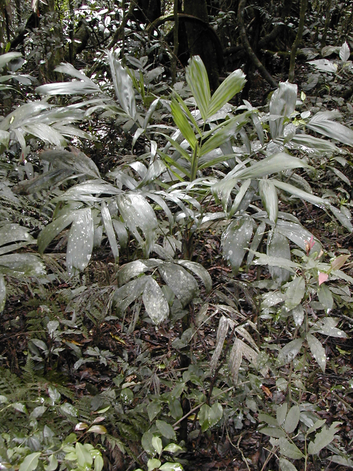 http://media.e-taxonomy.eu/palmae/photos/palm_tc_112593_16.jpg