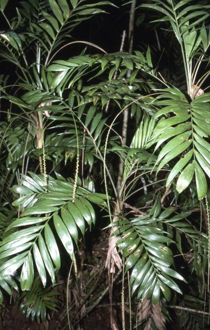 http://media.e-taxonomy.eu/palmae/photos/palm_tc_112596_2.jpg