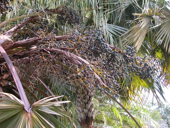 http://media.e-taxonomy.eu/palmae/photos/palm_tc_114913_1.jpg