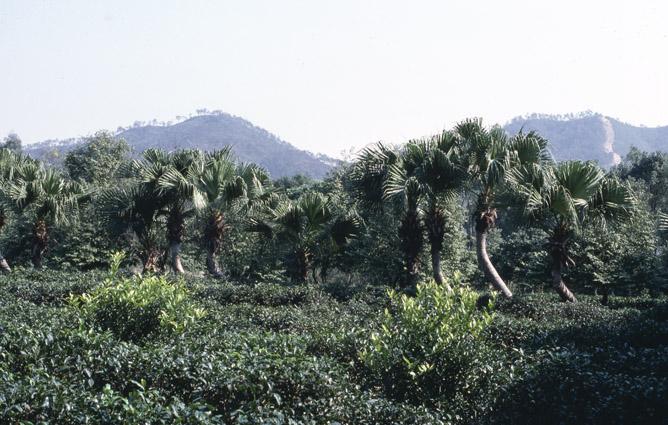 http://media.e-taxonomy.eu/palmae/photos/palm_tc_114913_4.jpg