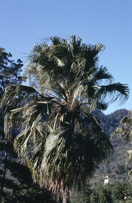 http://media.e-taxonomy.eu/palmae/photos/palm_tc_114913_5.jpg