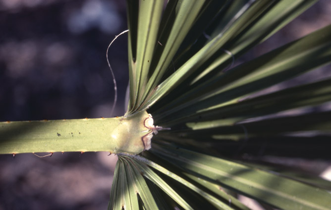 http://media.e-taxonomy.eu/palmae/photos/palm_tc_114922_4.jpg