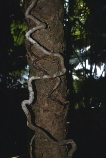 http://media.e-taxonomy.eu/palmae/photos/palm_tc_114924_1.jpg