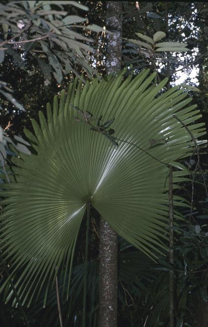 http://media.e-taxonomy.eu/palmae/photos/palm_tc_114941_1.jpg