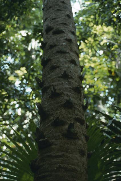 http://media.e-taxonomy.eu/palmae/photos/palm_tc_114941_4.jpg