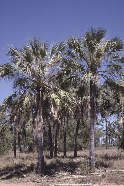 http://media.e-taxonomy.eu/palmae/photos/palm_tc_114945_1.jpg