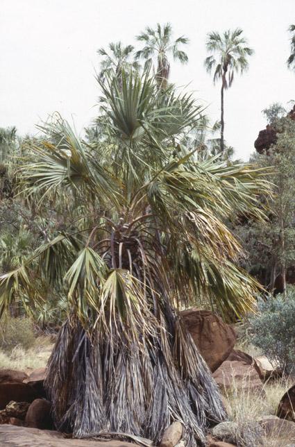 http://media.e-taxonomy.eu/palmae/photos/palm_tc_114949_2.jpg