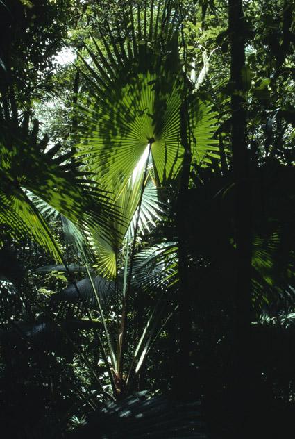 http://media.e-taxonomy.eu/palmae/photos/palm_tc_114965_5.jpg