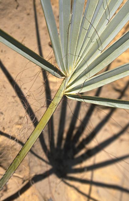 http://media.e-taxonomy.eu/palmae/photos/palm_tc_123201_14.jpg