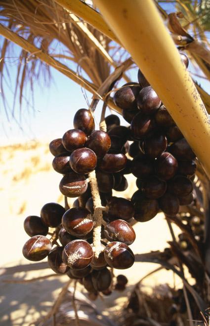 http://media.e-taxonomy.eu/palmae/photos/palm_tc_123201_18.jpg