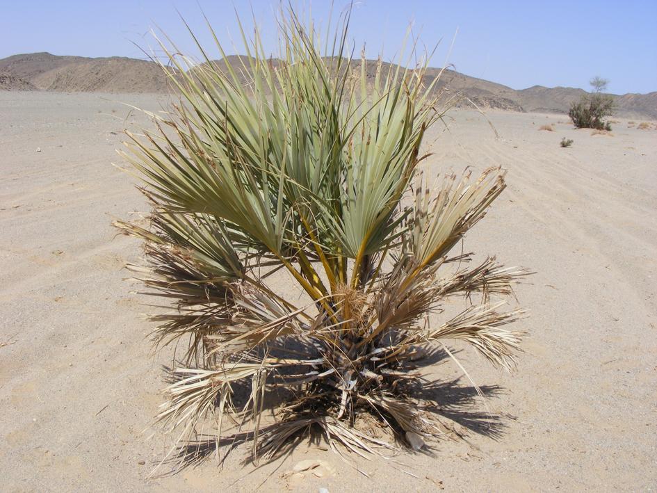 http://media.e-taxonomy.eu/palmae/photos/palm_tc_123201_31.jpg