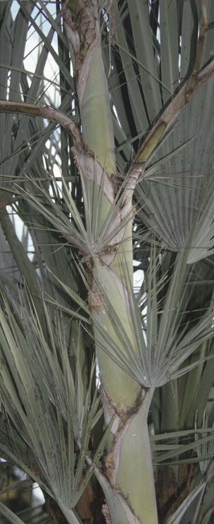 http://media.e-taxonomy.eu/palmae/photos/palm_tc_133083_4.jpg