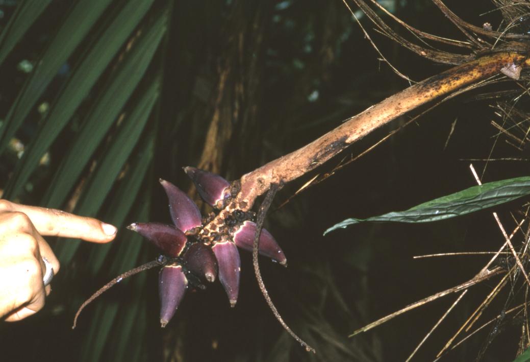 http://media.e-taxonomy.eu/palmae/photos/palm_tc_133544_7.jpg