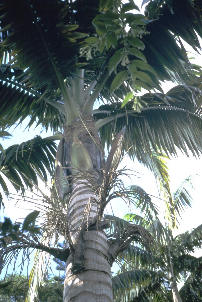 http://media.e-taxonomy.eu/palmae/photos/palm_tc_134358_3.jpg