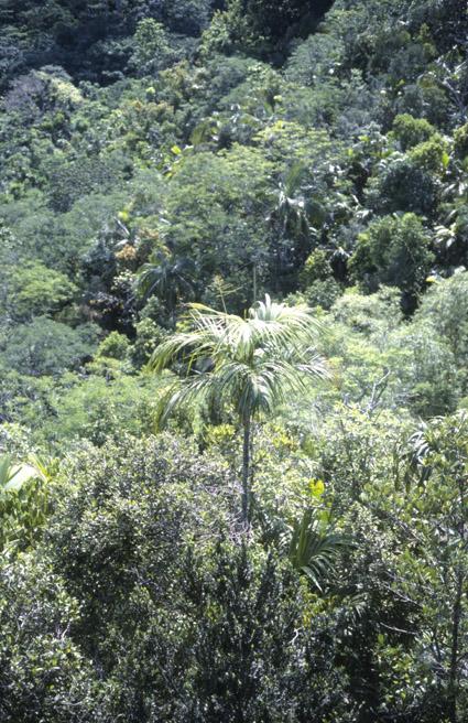 http://media.e-taxonomy.eu/palmae/photos/palm_tc_135134_3.jpg