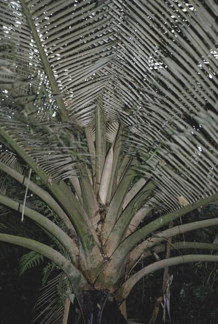 http://media.e-taxonomy.eu/palmae/photos/palm_tc_141977_1.jpg