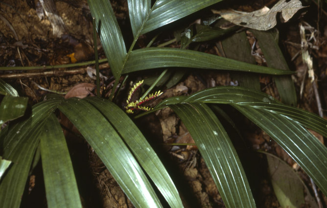 http://media.e-taxonomy.eu/palmae/photos/palm_tc_14495_3.jpg